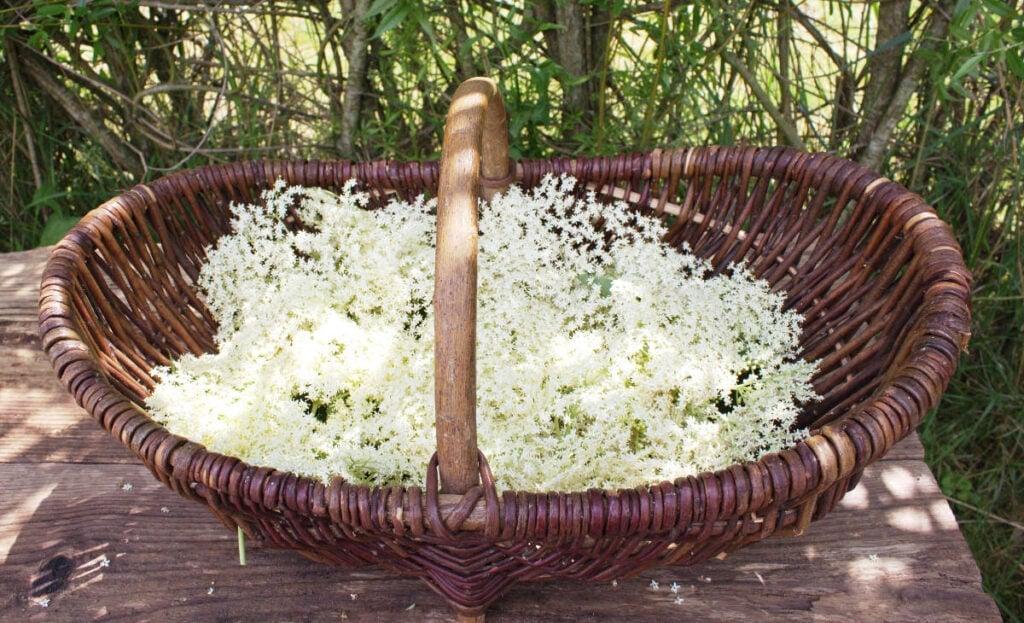 A willow basket full of elderflower blossom on a table in the garden.