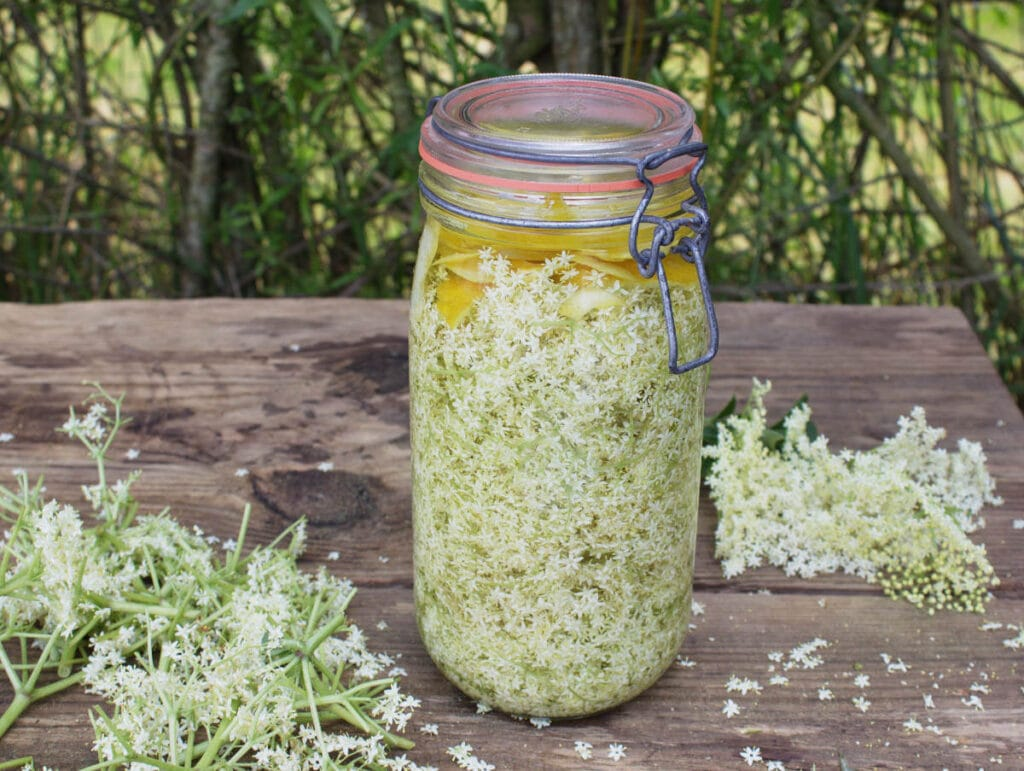 A filled jar with blossom, lemon rind and vodka on a table with umbels of eldeflower blossom.