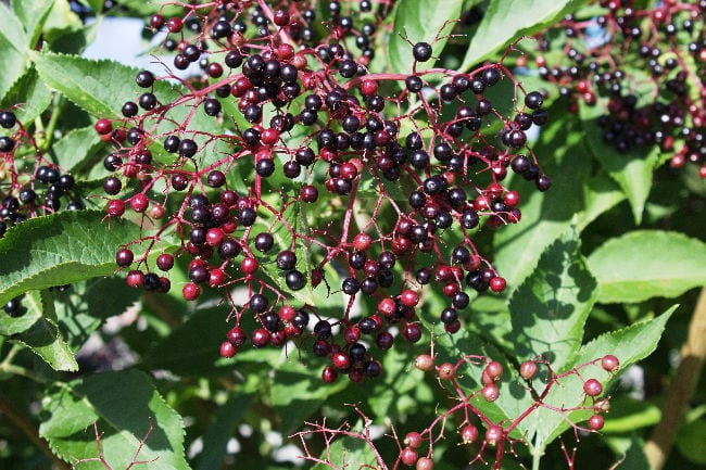 Harvesting Elderberries: Picking, Preserving & Recipes | Foraging tips & handy hints for picking & preserving elderberries with plenty of recipe ideas!