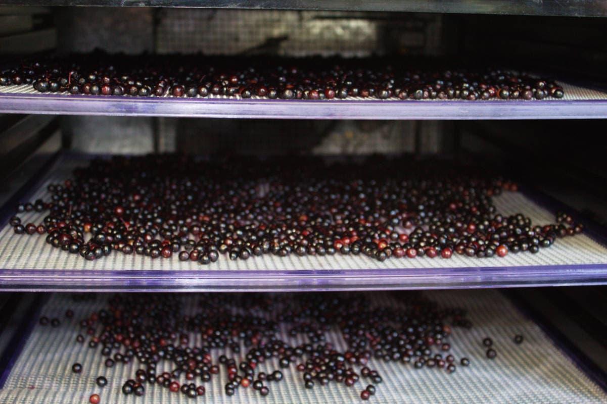 Elderberries in dehydrator